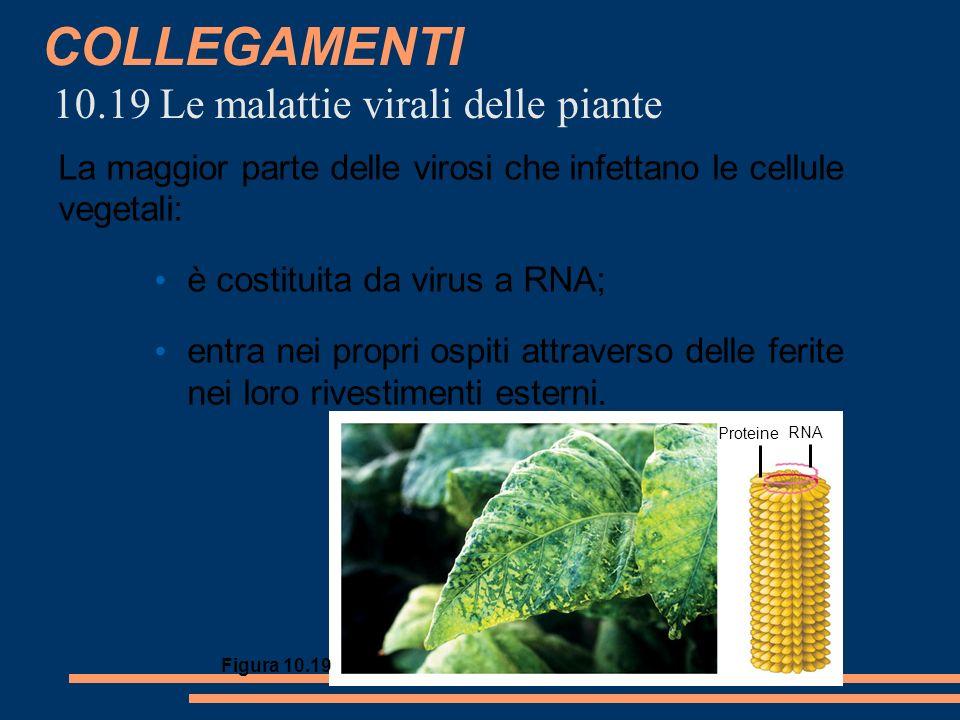 COLLEGAMENTI 10.19 Le malattie virali delle piante Proteine RNA Figura 10.19 La maggior parte delle virosi che infettano le cellule vegetali: è costituita da virus a RNA; entra nei propri ospiti attraverso delle ferite nei loro rivestimenti esterni.