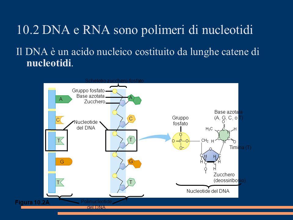 Polinucleotide del DNA A C T G T Scheletro zucchero-fosfato Gruppo fosfato Base azotata Zucchero A C T G T Gruppo fosfato O O–O– O O P CH 2 H3CH3C C C C C N C N H H O O C O O H C H H H C H Base azotata (A, G, C, o T) Timina (T) Zucchero (deossiribosio) Nucleotide del DNA 10.2 DNA e RNA sono polimeri di nucleotidi Il DNA è un acido nucleico costituito da lunghe catene di nucleotidi.