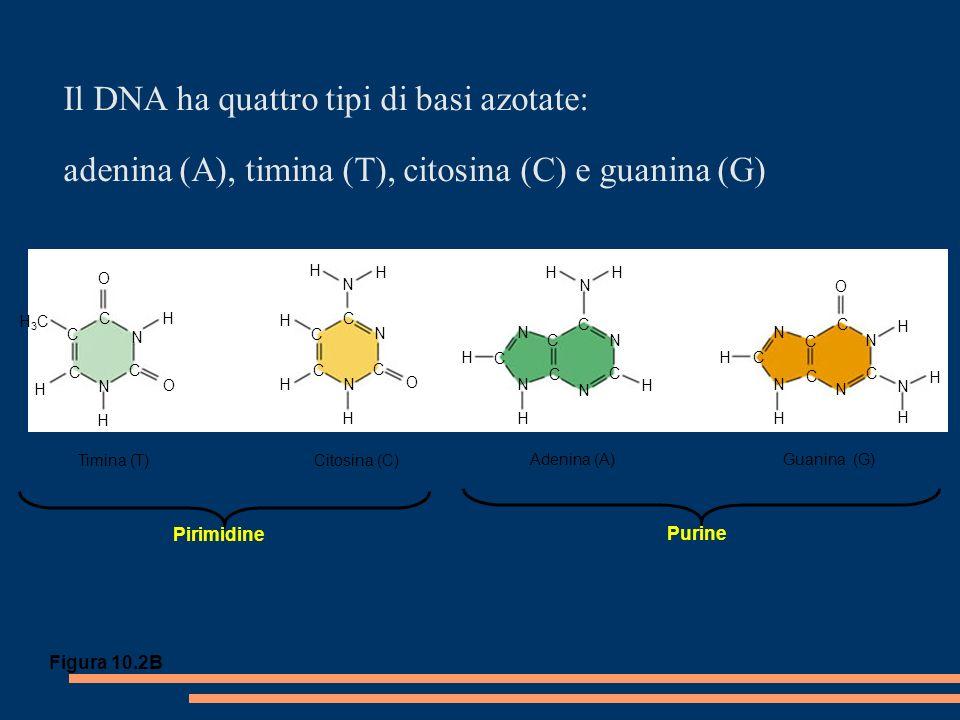 Il DNA ha quattro tipi di basi azotate: adenina (A), timina (T), citosina (C) e guanina (G) C C C C C C O N C H H O N H H3CH3C H H H H N N N H O C HH N H C N N N N C C C C H H N N H C C N C H N C N HC O H H Timina (T)Citosina (C) Adenina (A) Guanina (G) Purine Pirimidine Figura 10.2B