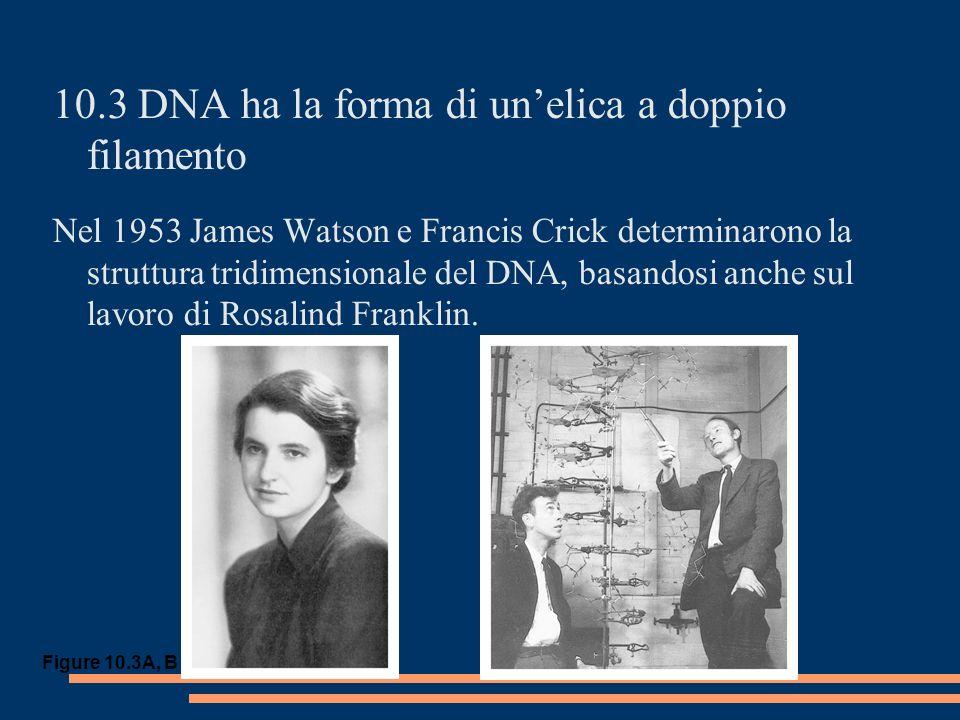 10.3 DNA ha la forma di unelica a doppio filamento Nel 1953 James Watson e Francis Crick determinarono la struttura tridimensionale del DNA, basandosi anche sul lavoro di Rosalind Franklin.