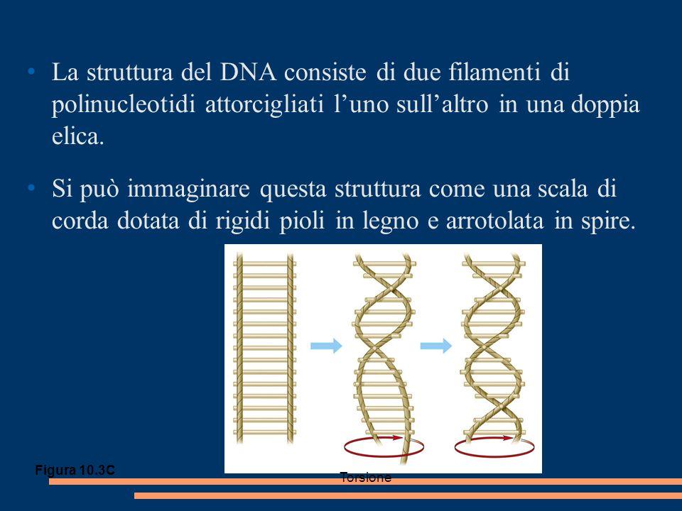 La struttura del DNA consiste di due filamenti di polinucleotidi attorcigliati luno sullaltro in una doppia elica.