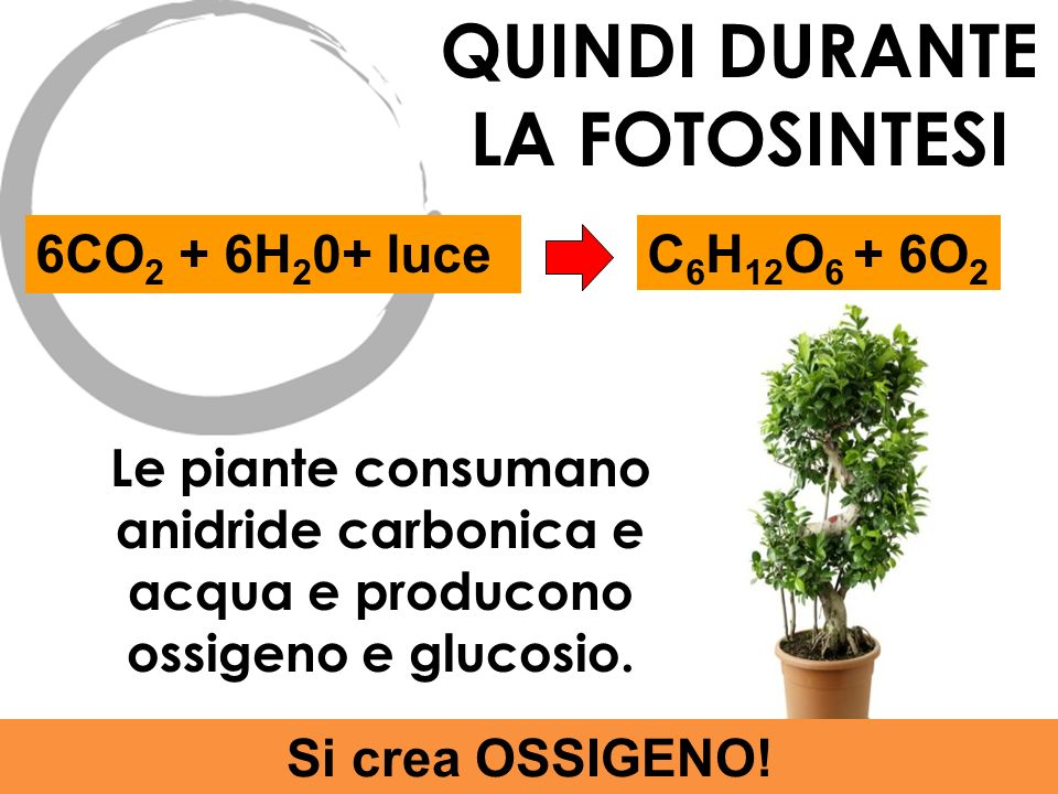 6CO 2 + 6H 2 0+ luceC 6 H 12 O 6 + 6O 2 QUINDI DURANTE LA FOTOSINTESI Le piante consumano anidride carbonica e acqua e producono ossigeno e glucosio.