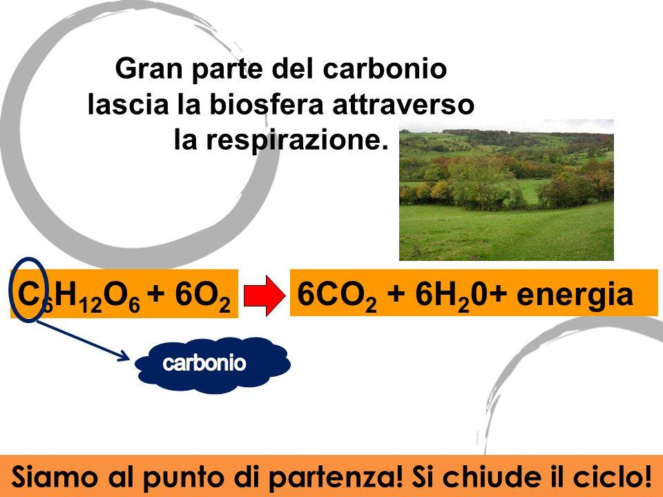 Gran parte del carbonio lascia la biosfera attraverso la respirazione. C 6 H 12 O 6 + 6O 2 6CO 2 + 6H 2 0+ energia Siamo al punto di partenza! Si chiu