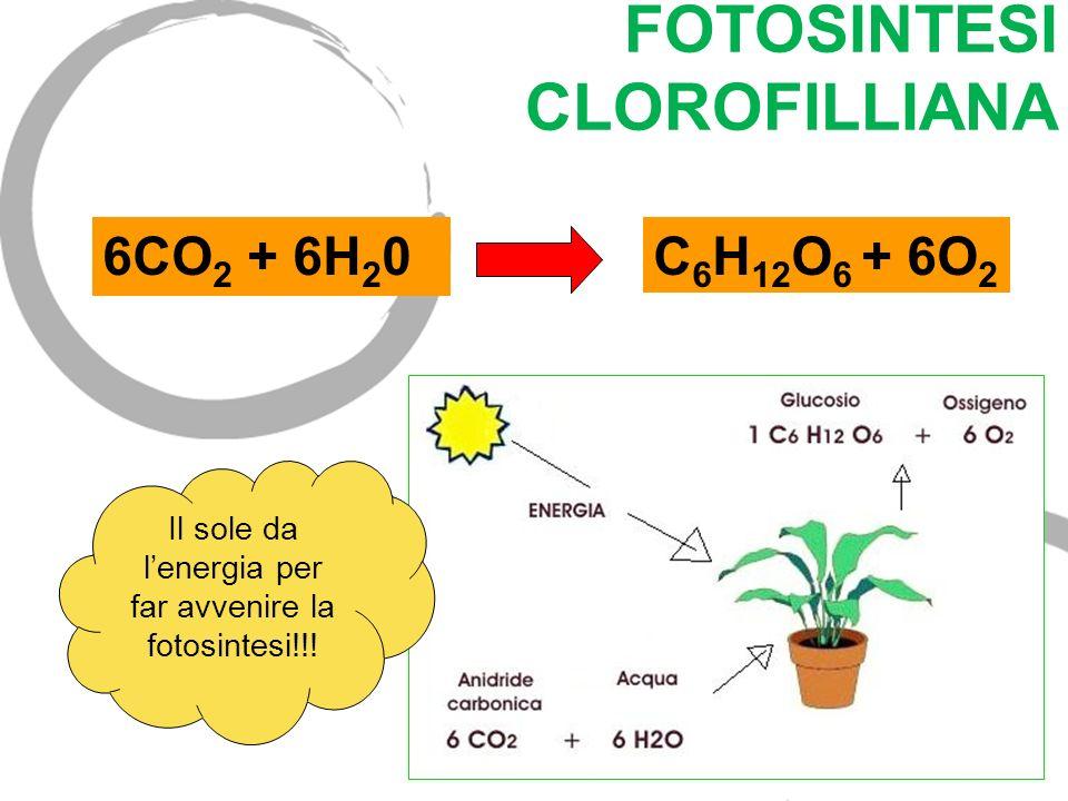 FOTOSINTESI CLOROFILLIANA 6CO 2 + 6H 2 0C 6 H 12 O 6 + 6O 2 Il sole da lenergia per far avvenire la fotosintesi!!!