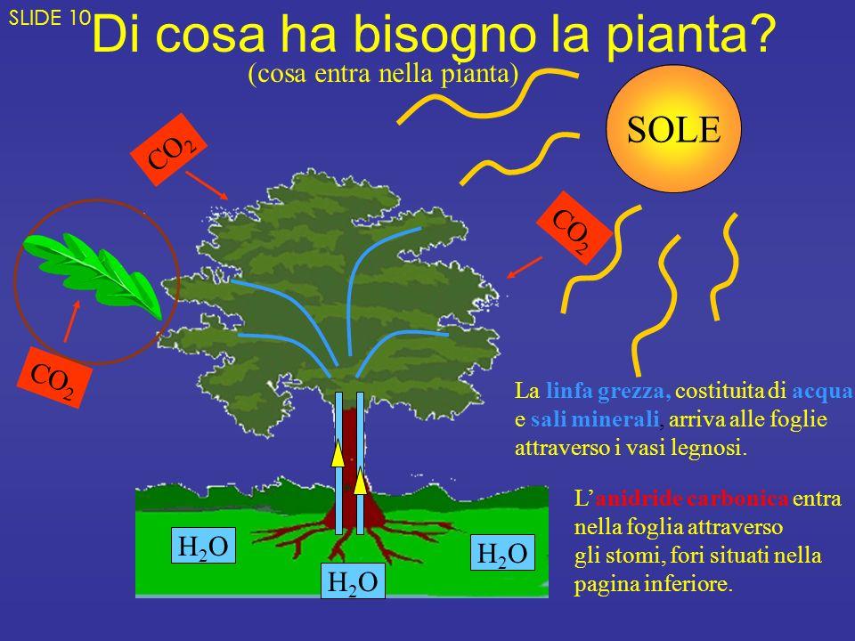 Di cosa ha bisogno la pianta? H2OH2O H2OH2O H2OH2O CO 2 SOLE La linfa grezza, costituita di acqua e sali minerali, arriva alle foglie attraverso i vas