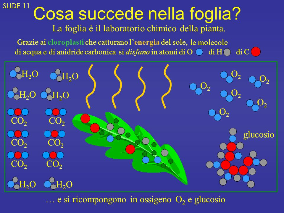 le molecole di acqua e di anidride carbonica Grazie ai cloroplasti che catturano lenergia del sole, Cosa succede nella foglia.