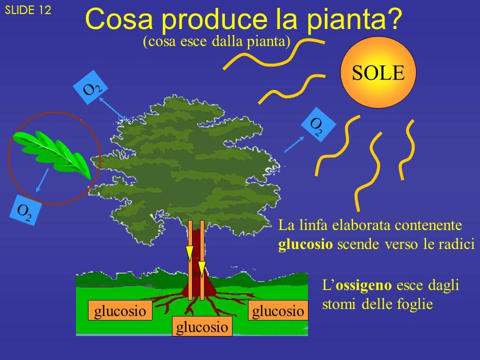 Cosa produce la pianta? glucosio O2O2 O2O2 O2O2 SOLE (cosa esce dalla pianta) La linfa elaborata contenente glucosio scende verso le radici Lossigeno