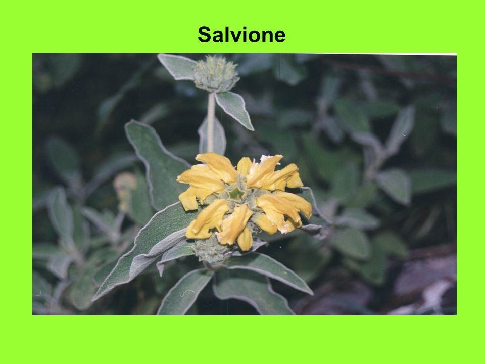 Salvione