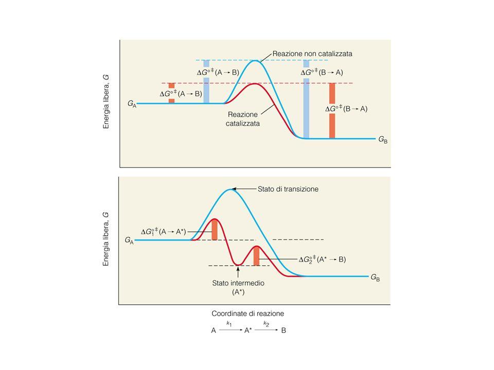 formazione del prodotto: velocità V 0 = k 2 [ES] formazione del complesso ES: velocità V 1 = k 1 [E][S] scissione del complesso ES: velocità V -1 + V 0 = k -1 [ES] + k 2 [ES] Allo stato stazionario [ES] è stabile: formazione del complesso ES = scissione del complesso ES k 1 [E][S] = k -1 [ES] + k 2 [ES] [E][S] k -1 + k 2 [ES] k 1 K M : costante di Michaelis-Menten [E][S] = K M [ES] == K M E + S ES E + P Equilibrium: Allinizio: E + S ES E + P E + S ES E + P k1k1 k -1 k2k2