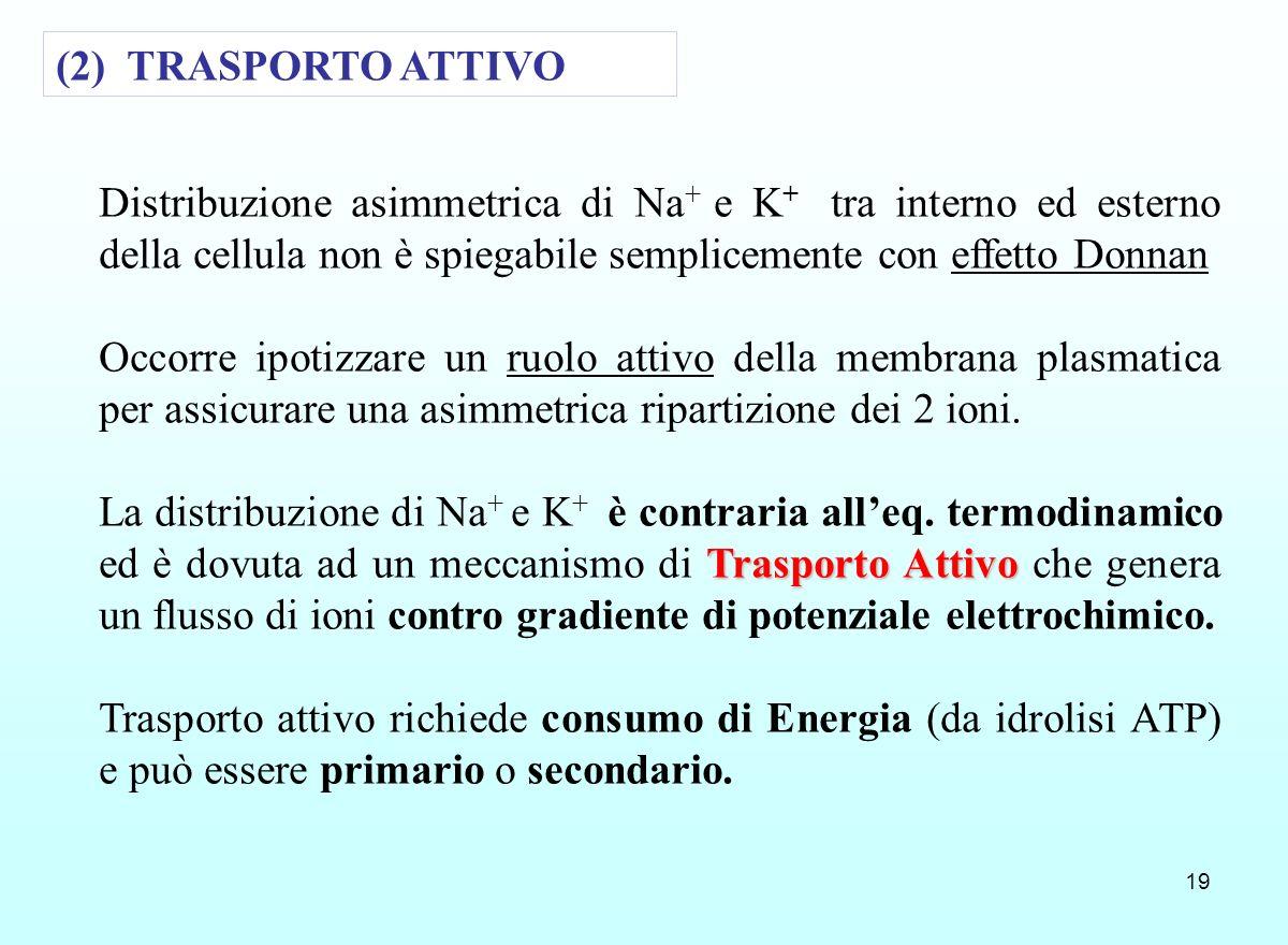 19 (2) TRASPORTO ATTIVO Distribuzione asimmetrica di Na + e K + tra interno ed esterno della cellula non è spiegabile semplicemente con effetto Donnan
