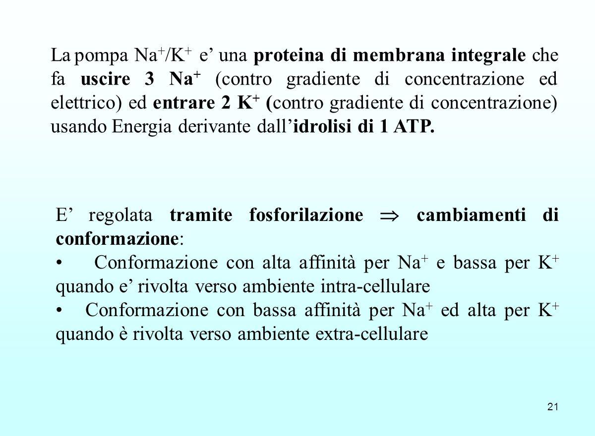 21 E regolata tramite fosforilazione cambiamenti di conformazione: ++ Conformazione con alta affinità per Na + e bassa per K + quando e rivolta verso