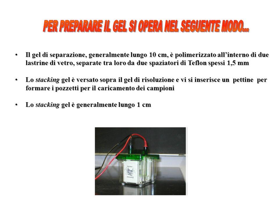 Il gel di separazione, generalmente lungo 10 cm, è polimerizzato allinterno di dueIl gel di separazione, generalmente lungo 10 cm, è polimerizzato all