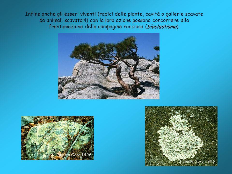 Infine anche gli esseri viventi (radici delle piante, cavità o gallerie scavate da animali scavatori) con la loro azione possono concorrere alla frant