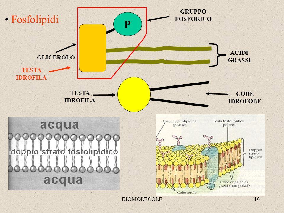 BIOMOLECOLE10 Fosfolipidi GLICEROLO ACIDI GRASSI P GRUPPO FOSFORICO TESTA IDROFILA CODE IDROFOBE