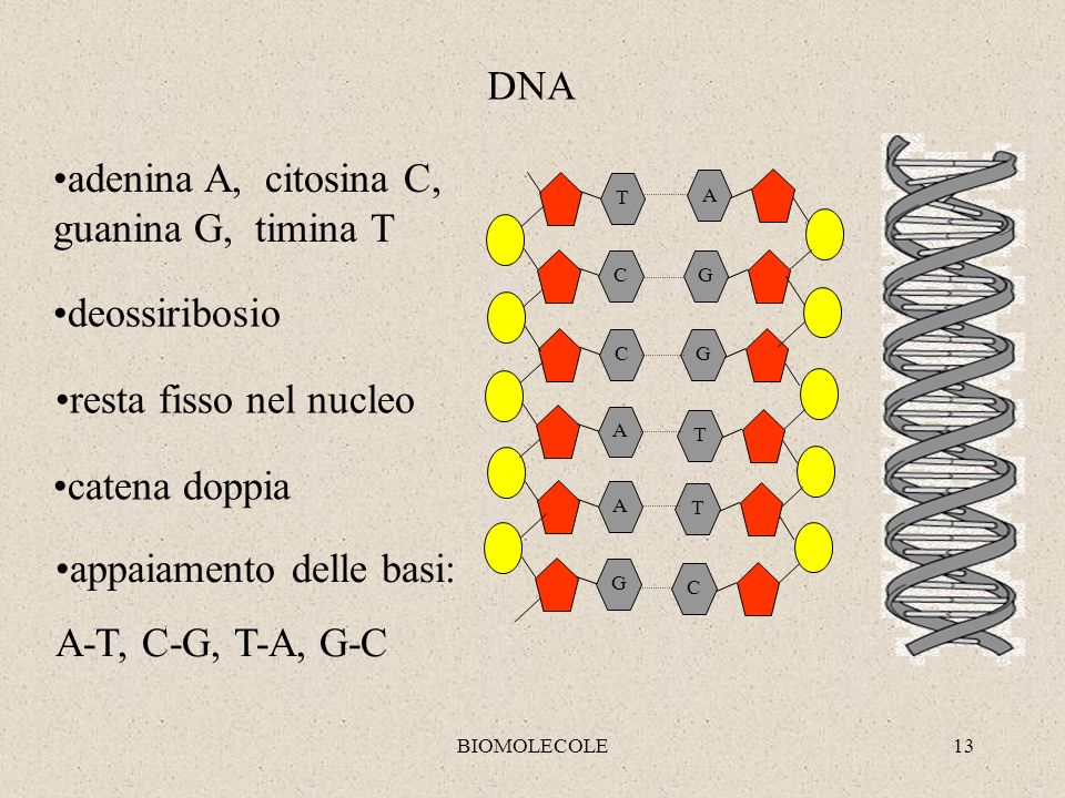 BIOMOLECOLE13 G A A C C T G C T T G A DNA appaiamento delle basi: A-T, C-G, T-A, G-C adenina A, citosina C, guanina G, timina T deossiribosio resta fi