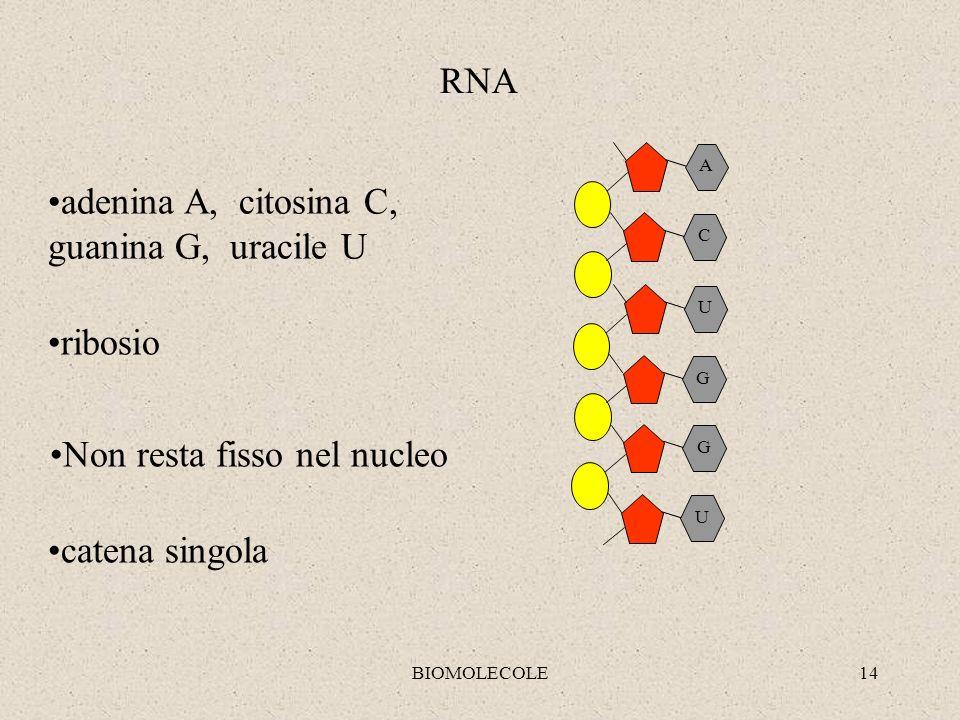 BIOMOLECOLE14 U G G U C A RNA adenina A, citosina C, guanina G, uracile U ribosio Non resta fisso nel nucleo catena singola