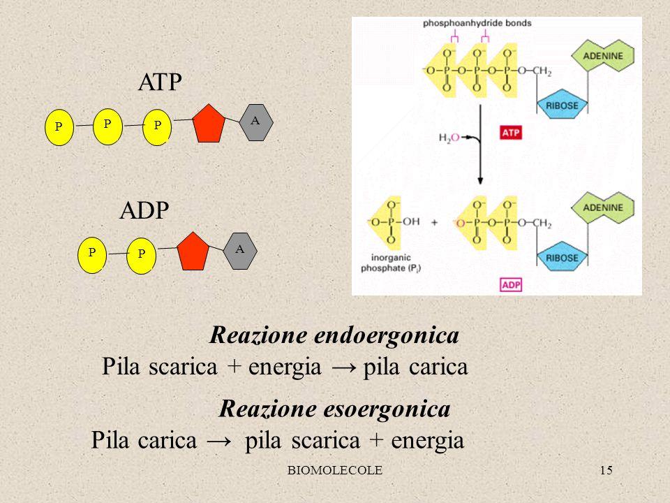 BIOMOLECOLE15 A P P P ATP Reazione endoergonica Pila scarica + energia pila carica Reazione esoergonica Pila carica pila scarica + energia A P P ADP