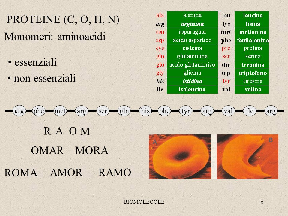 BIOMOLECOLE6 argsermetglnhispheargvaltyrileargphe arg PROTEINE (C, O, H, N) Monomeri: aminoacidi essenziali non essenziali R AO M ROMA AMORRAMO MORAOM
