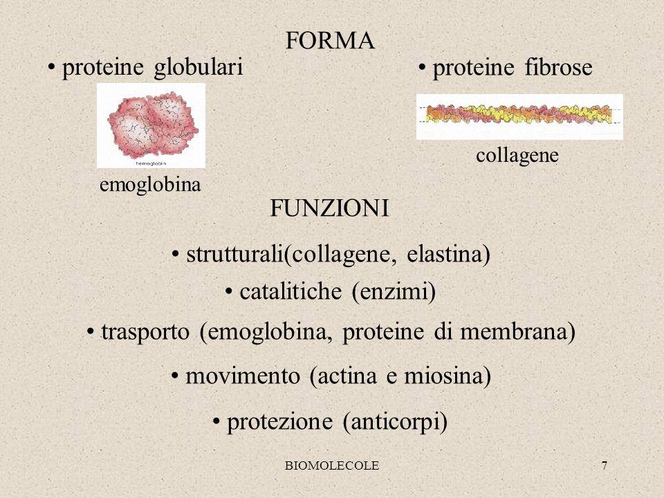 BIOMOLECOLE7 emoglobina collagene proteine globulari proteine fibrose FORMA FUNZIONI strutturali(collagene, elastina) catalitiche (enzimi) trasporto (