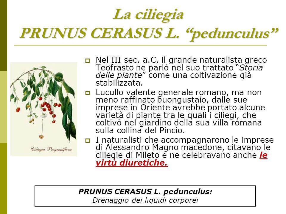 La cipolla Allium cepa L.Le cipolle esistevano in Cina già 5000 anni fa.