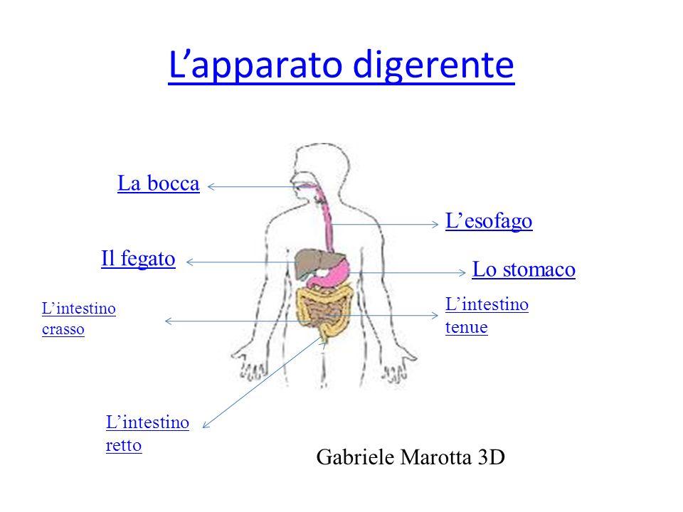 Lapparato digerente La bocca Lesofago Lo stomaco Lintestino tenue Il fegato Lintestino crasso Lintestino retto Gabriele Marotta 3D