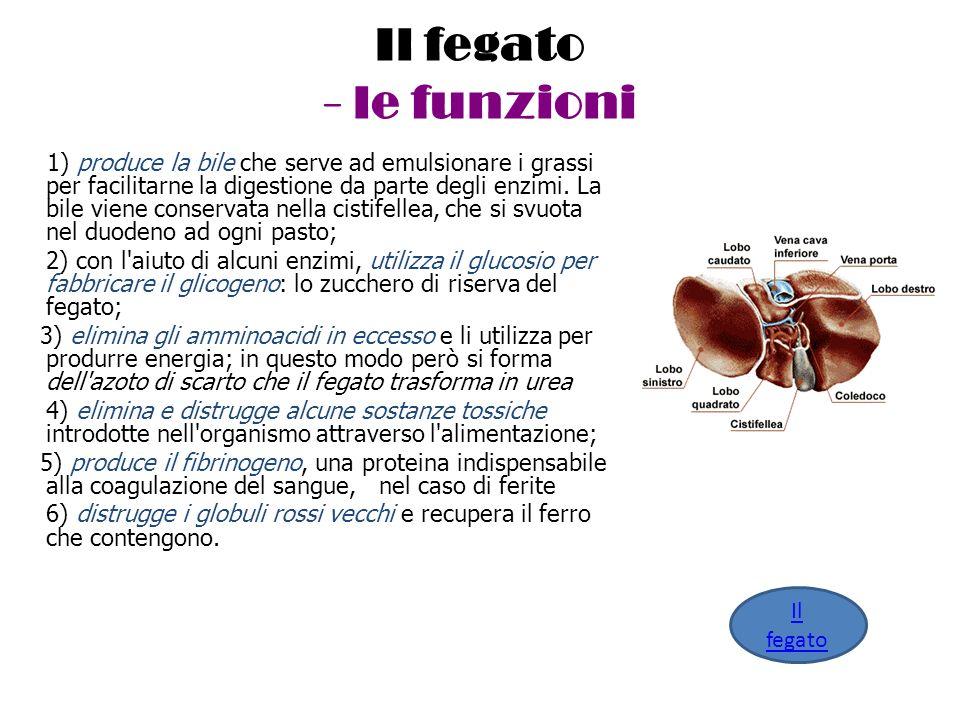 Il fegato - le funzioni 1) produce la bile che serve ad emulsionare i grassi per facilitarne la digestione da parte degli enzimi. La bile viene conser