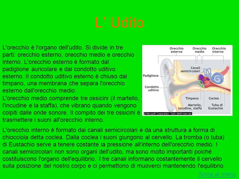 L Udito Torna al menù L'orecchio è l'organo dell'udito. Si divide in tre parti: orecchio esterno, orecchio medio e orecchio interno. L'orecchio estern