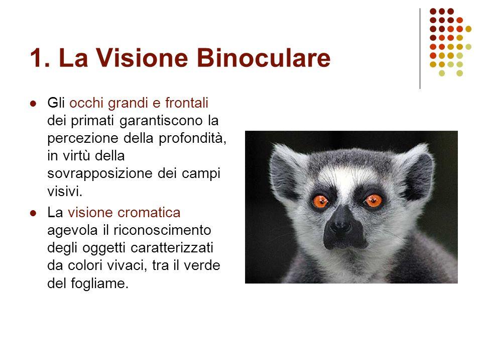 1. La Visione Binoculare Gli occhi grandi e frontali dei primati garantiscono la percezione della profondità, in virtù della sovrapposizione dei campi