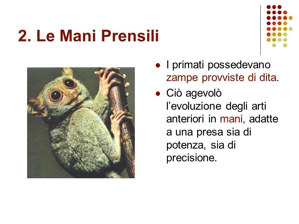2. Le Mani Prensili I primati possedevano zampe provviste di dita. Ciò agevolò levoluzione degli arti anteriori in mani, adatte a una presa sia di pot