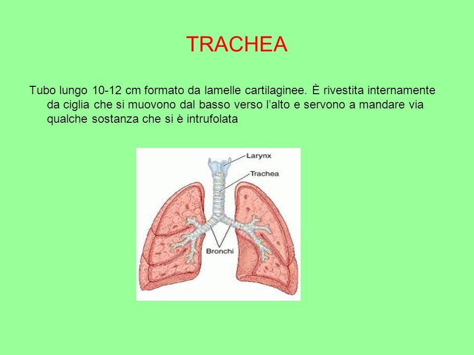 BRONCHI La trachea si divide a metà e formano i bronchi.