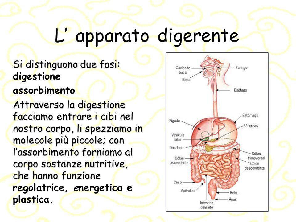L apparato digerente Si distinguono due fasi: Si distinguono due fasi: digestione assorbimento Attraverso la digestione facciamo entrare i cibi nel no