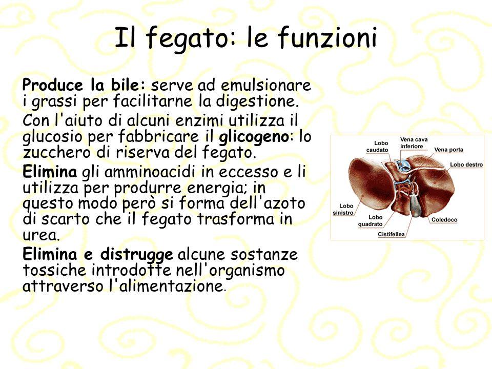 Il fegato: le funzioni Produce la bile: serve ad emulsionare i grassi per facilitarne la digestione. Con l'aiuto di alcuni enzimi utilizza il glucosio