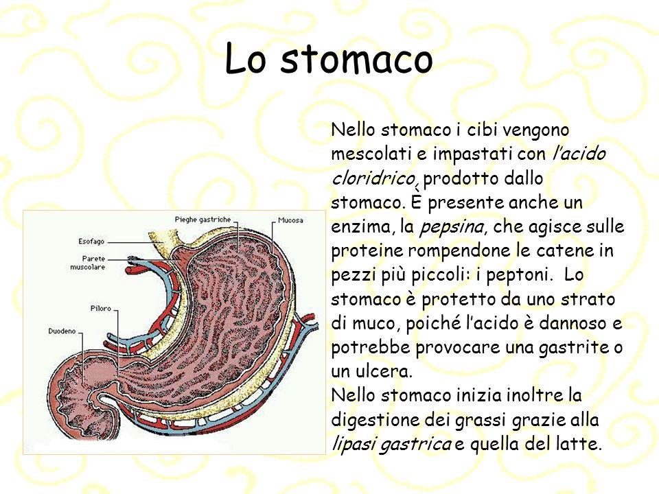 Lo stomaco Nello stomaco i cibi vengono mescolati e impastati con lacido cloridrico, prodotto dallo stomaco. È presente anche un enzima, la pepsina, c