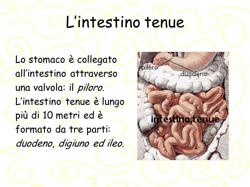 Lintestino tenue: la bile Nell intestino arriva la bile, prodotta dal fegato, che serve ad emulsionare i grassi, cioè a dividerli in goccioline finissime in modo che possano essere più facilmente digeriti.