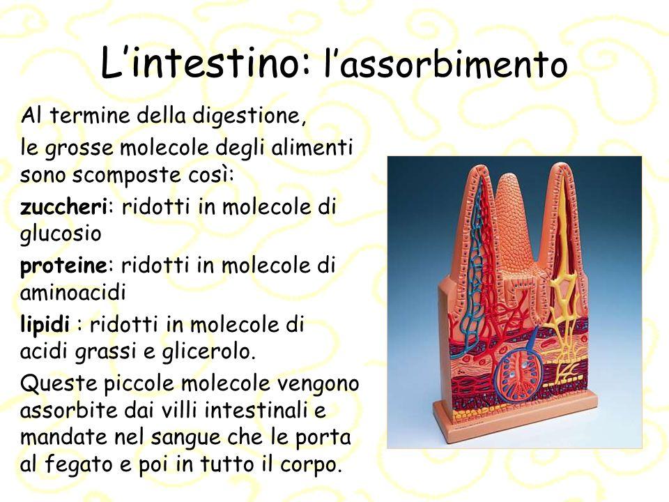Lintestino: lassorbimento Al termine della digestione, le grosse molecole degli alimenti sono scomposte così: zuccheri: ridotti in molecole di glucosi