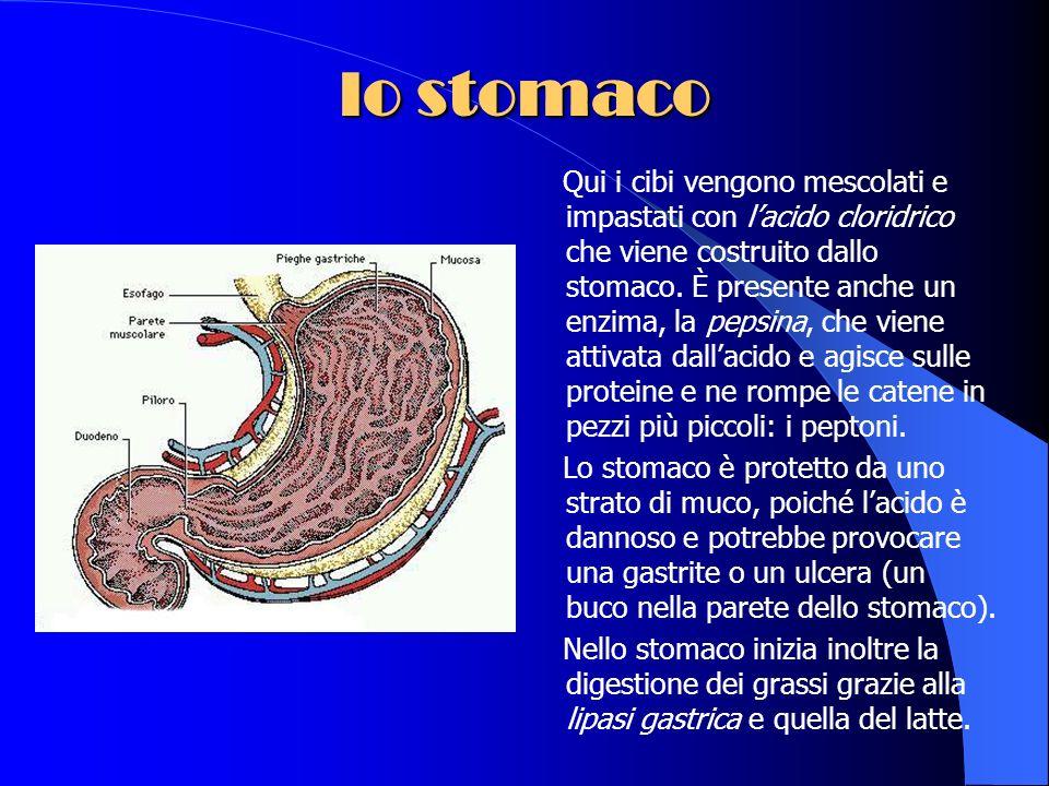 lesofago Nellesofago, un lungo tubo che passa dentro la gabbia toracica, il bolo alimentare viene spinto in giù verso lo stomaco attraverso una contra