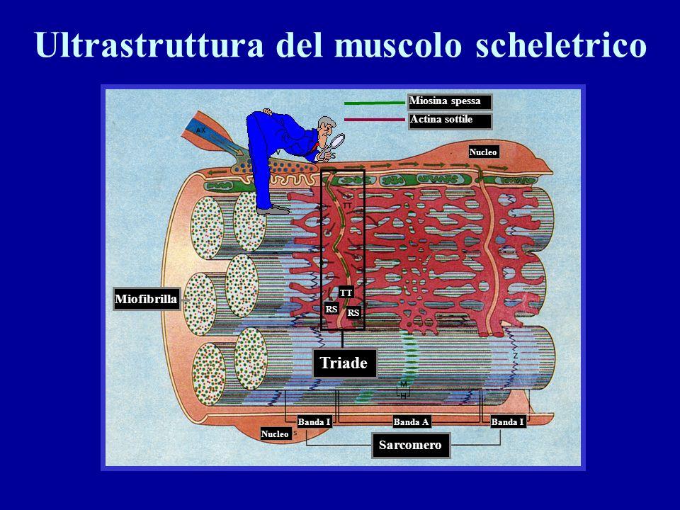 1) Fibra a riposo: la testa della miosina non è attaccata allactina Ca 2+ 2) Legame della testa della miosina allactina Rilascio di ADP e Pi 3) Scorri