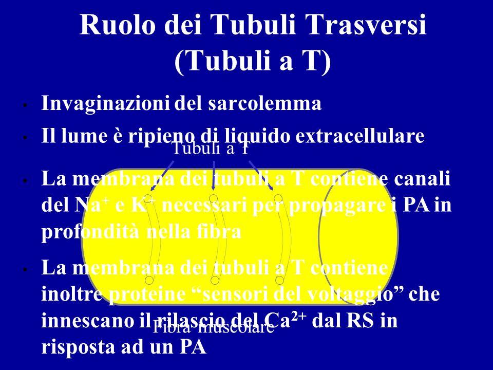 Da dove arriva il Ca 2+ ? Il reticolo sarcoplasmatico Tubulo a T Sarcolemma Filamento sottile Filamento spesso Triade Reticolo sarcoplasmatico Cistern
