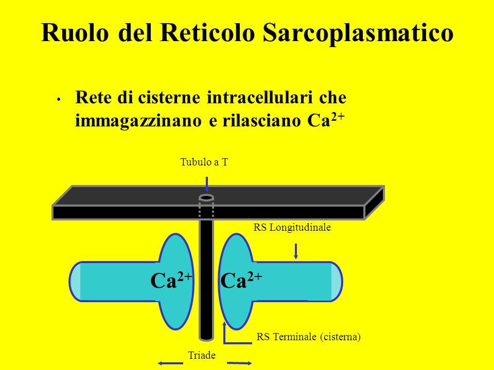 Tubuli a T Fibra muscolare Ruolo dei Tubuli Trasversi (Tubuli a T) La membrana dei tubuli a T contiene canali del Na + e K + necessari per propagare i