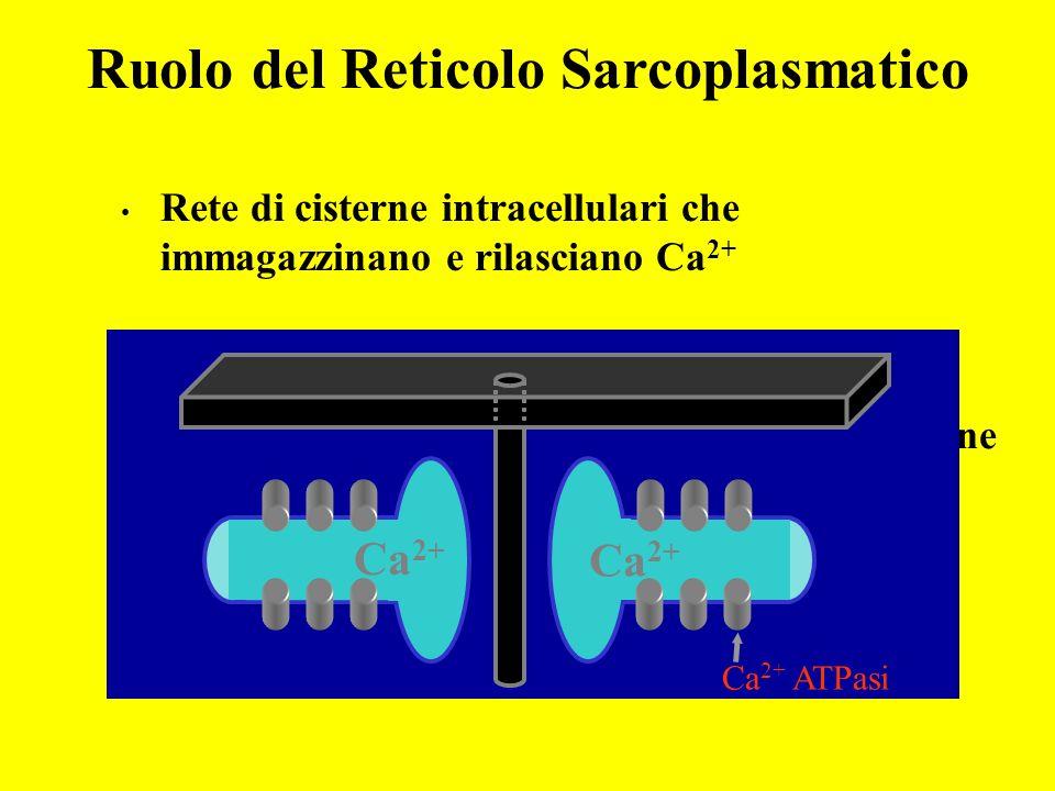 Ruolo del Reticolo Sarcoplasmatico Rete di cisterne intracellulari che immagazzinano e rilasciano Ca 2+ Tubulo a T RS Longitudinale RS Terminale (cist