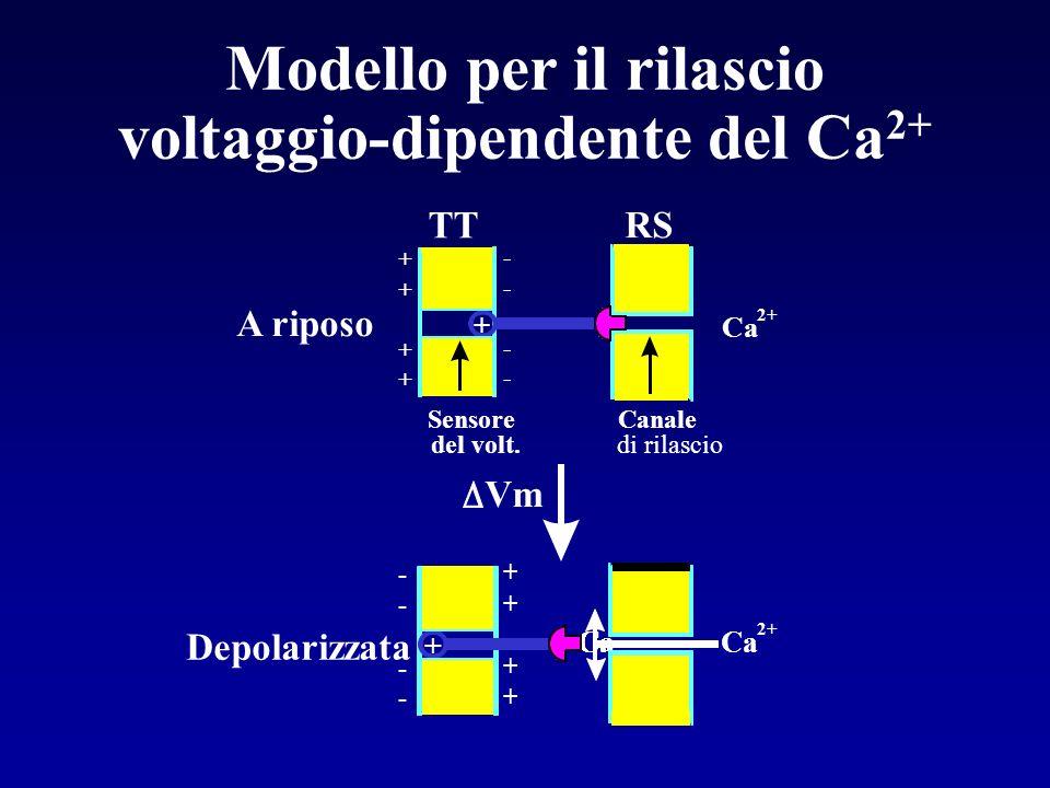 Il RS longitudinale contiene Ca 2+ -ATPasi che pompano Ca 2+ nel RS alla fine della contrazione Ruolo del Reticolo Sarcoplasmatico Rete di cisterne in