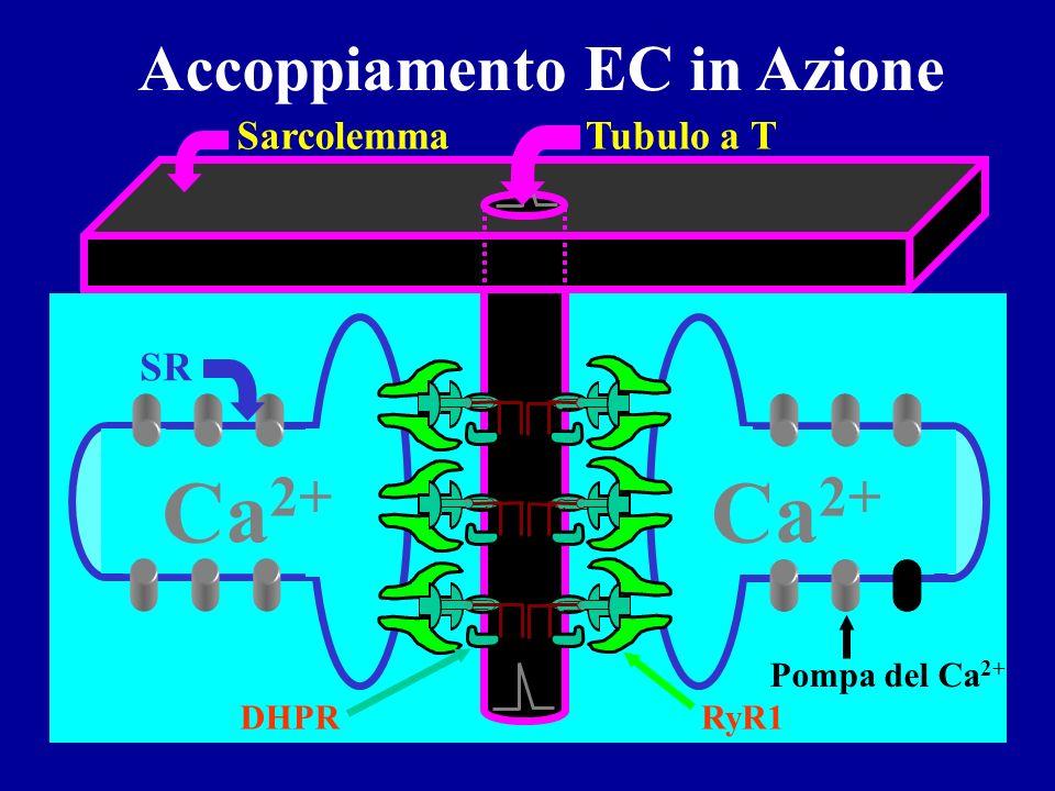 Ca 2+ Ca 2+ Ca 2+ Ca 2+ Modello per il rilascio voltaggio-dipendente del Ca 2+ Vm Ca 2+ + + + + + - - - - Depolarizzata Ca 2+ + + + + + - - - - Sensor