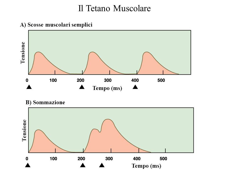 Controllo della forza di contrazione Scala dei tempi: –Un PdA muscolare tipico dura 3-5 ms –Una contrazione muscolare tipica dura 100 ms Se il tempo t