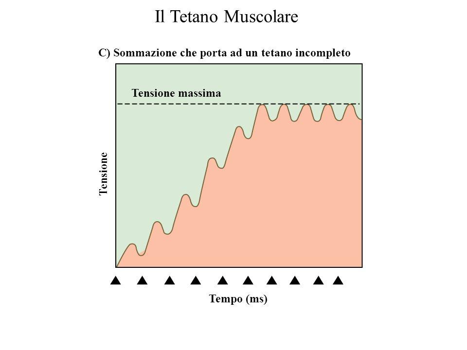 Tempo (ms) Tensione A) Scosse muscolari semplici Tempo (ms) Tensione B) Sommazione Il Tetano Muscolare