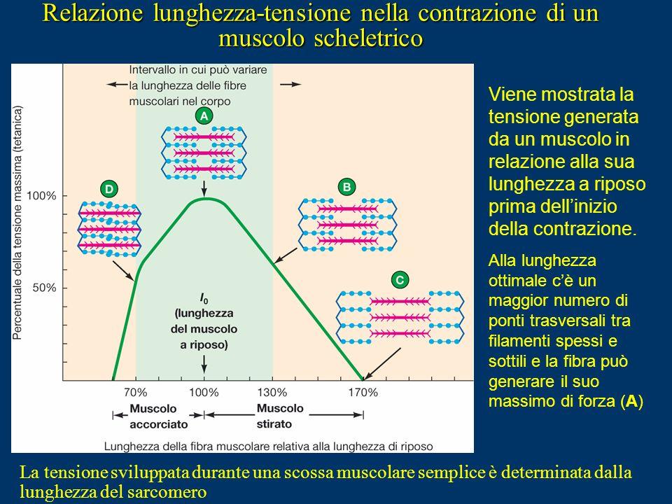 Tempo (ms) Tensione Tensione massima D) Sommazione che porta ad un tetano completo Fatica Scossa muscolare semplice Il Tetano Muscolare Il tetano musc