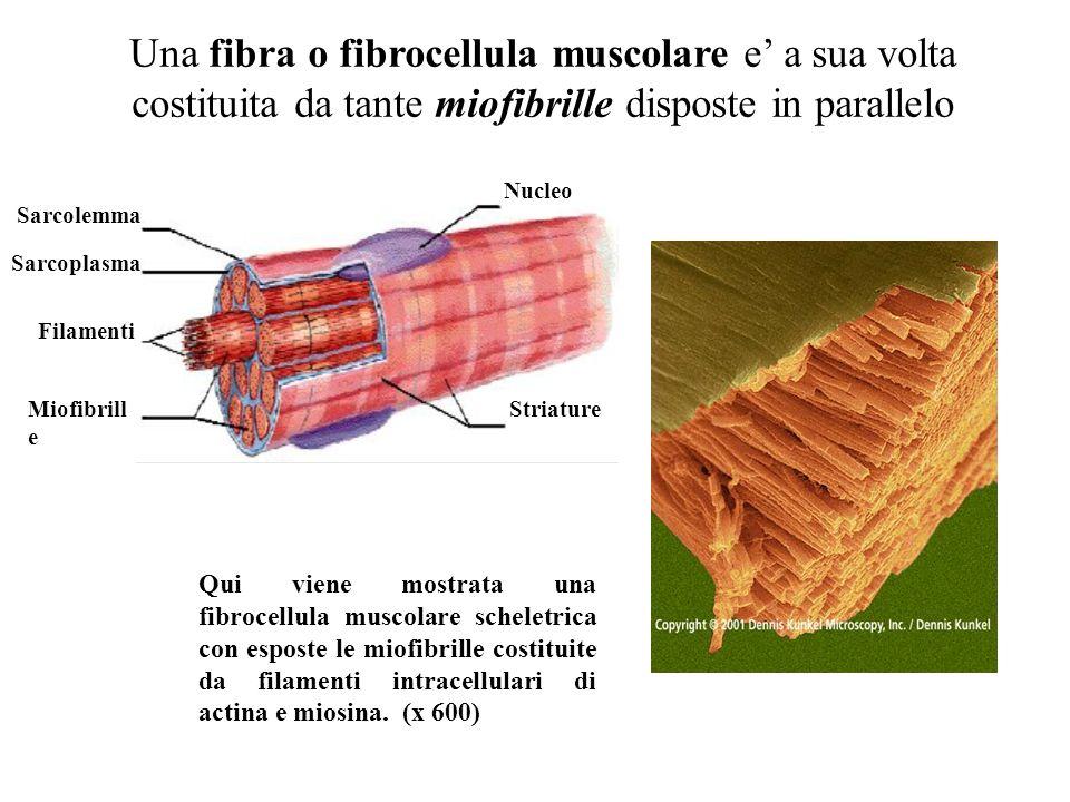 Un muscolo scheletrico e costituito da tante fibre (o fibrocellule) muscolari disposte in parallelo. muscolo Fibrocellule muscolari Ciascuna fibra mus