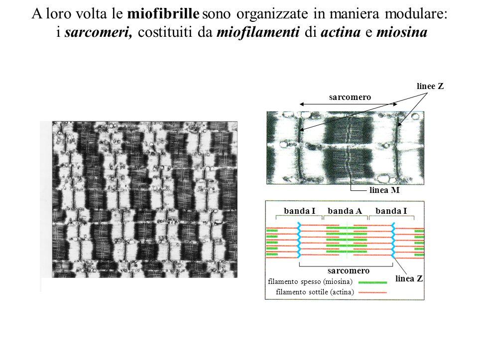 Una fibra o fibrocellula muscolare e a sua volta costituita da tante miofibrille disposte in parallelo Sarcolemma Sarcoplasma Filamenti Miofibrill e N
