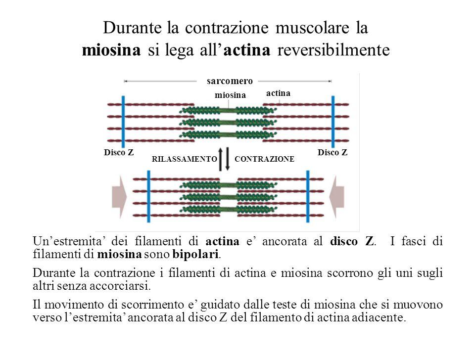 Filamenti spessi (miosina) Ciascun filamento e costituito da 2 catene polipeptidiche ad -elica Ciascuna catena comprende: una coda (meromiosina legger