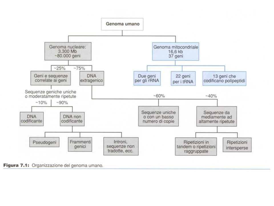 DELEZIONI MULTIPLE Delezione multipla ed ereditarietà autosomica dominante - della D-loop ed il tratto corrispondente ai geni per lATPasi 6 e 8.