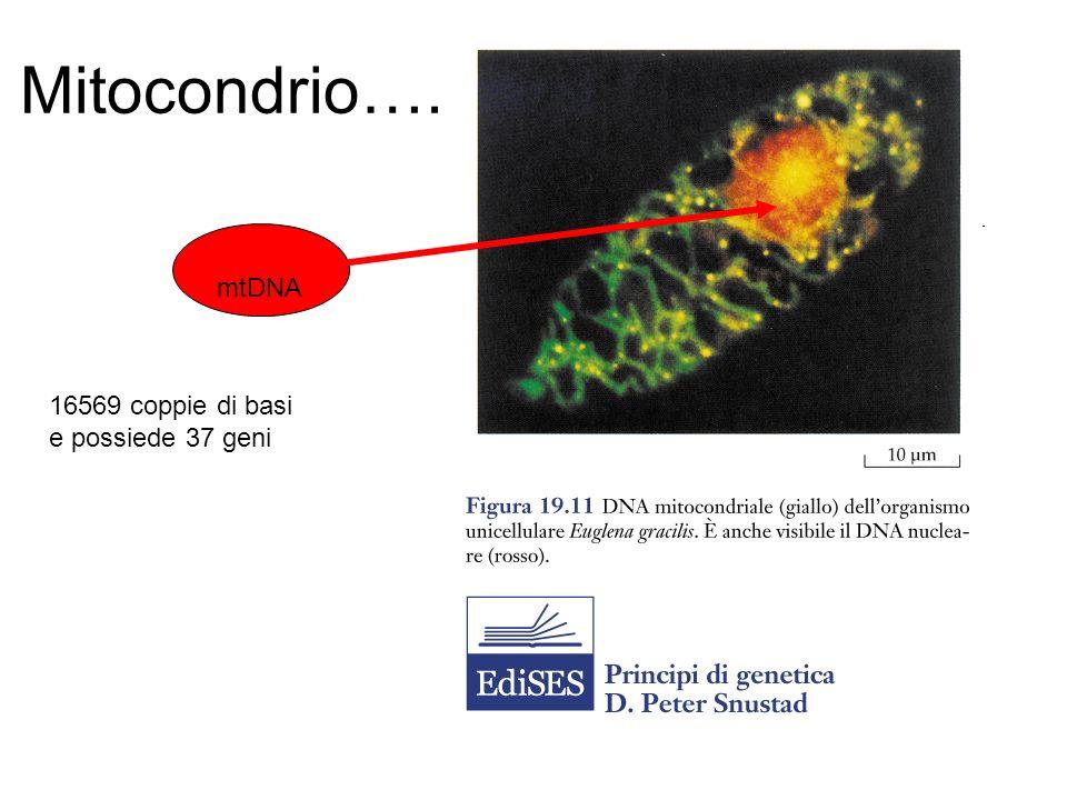 CARATTERISTICHE dell mtDNA POLIPLASMIA ETEROPLASMIA EFFETTO SOGLIA SEGREGAZIONE MITOTICA EREDITÀ MATERNA